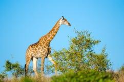 Giraff. Kruger nationalpark, Sydafrika Fotografering för Bildbyråer