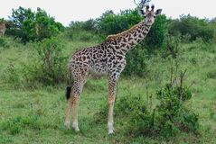 Giraff Maasai Mara National Reserve, nationalpark Kenya royaltyfri foto