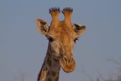 Giraff Madikwe lekreserv Arkivfoto