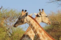 Giraff - X markerar fläcken Arkivfoton