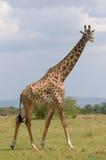 Giraff masai mara, kenya, djurliv av africa Arkivfoto