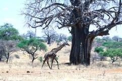 Giraff med Baobabträdet Royaltyfri Fotografi