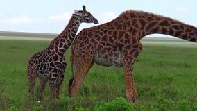 Giraff med behandla som ett barn arkivfilmer