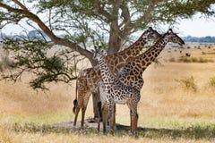 Giraff med behandla som ett barn kalven i skugga under akaciaträdet, Serengeti, Tanzania, Afrika royaltyfria bilder