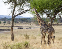 Giraff med elefanter Fotografering för Bildbyråer
