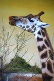 Giraff med en filial på zoo royaltyfria foton