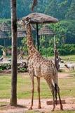 Giraff med ett smaskigt träd Arkivfoto