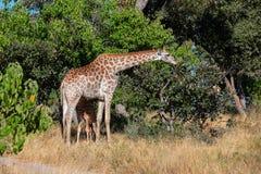 Giraff med kalven, Afrika djurlivsafari royaltyfria bilder