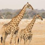 Giraff med kattungen Arkivfoton