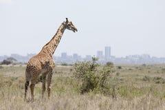 Giraff med Nairobi i bakgrund Royaltyfri Bild