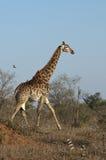 Giraff med oxpeckers i Afrika Arkivbild