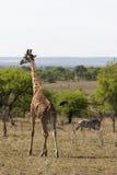 Giraff med sebran i bakgrund Arkivbilder