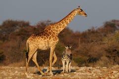 Giraff med sebran i det torra landskapet Arkivbild