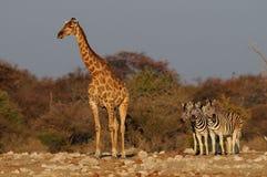 Giraff med sebror, etoshanationalpark, Namibia Royaltyfria Foton