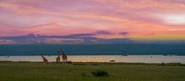 Giraff med solnedgång i bakgrunden royaltyfri foto