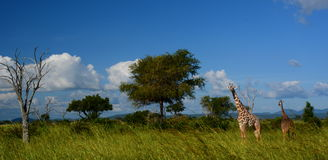 giraff Mikumi nationalpark, Tanzania Royaltyfria Foton