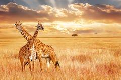 Giraff mot solnedgång i den afrikanska savannet Lös natur av Afrika royaltyfria foton