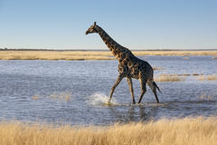 Giraff - Namibia Arkivbild
