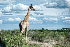 Giraff Namibia, Afrika Arkivbilder
