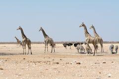 Giraff och andra djur på waterhole Royaltyfri Foto