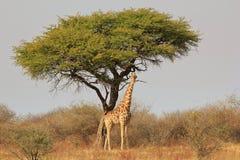 Giraff- och Camethorn tree 2 - afrikansk royalty Arkivbild