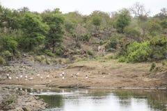 Giraff och fåglar i busken vid vattendammet, Kruger nationalpark, Sydafrika arkivfoto