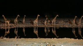 Giraff och hyena i waterhole arkivfilmer