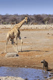 Giraff och hyenan på Etosha parkerar Namibia Royaltyfri Foto