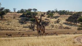 Giraff och impalor i savannahen, Namibia arkivfoto