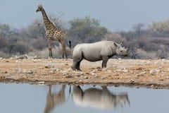 Giraff och noshörning fortfarande Fotografering för Bildbyråer