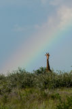 Giraff och regnbågen Royaltyfria Bilder
