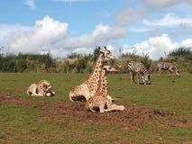 Giraff och sebra Royaltyfria Bilder