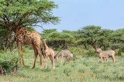Giraff och sebra Arkivbild