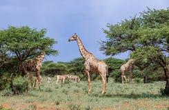 Giraff och sebra Arkivfoto