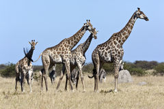 Giraff och sebra - Botswana royaltyfria bilder