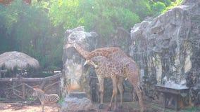 Giraff och sebror arkivfilmer