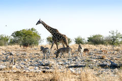 Giraff och sebror Arkivfoton