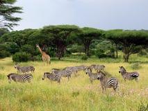 Giraff och sebror betar i den afrikanska savannahen, Tanzania, den Ruaha nationalparken Arkivfoton