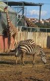 Giraff och sebror i zoo Fotografering för Bildbyråer