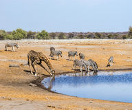 Giraff och sebror på waterhole i den Etosha nationalparken royaltyfri bild