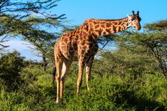 Giraff på akaciabusken Serengeti Tanzania, Afrika Royaltyfri Fotografi