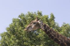Giraff på bakgrunden av wood och blå himmel Arkivfoto