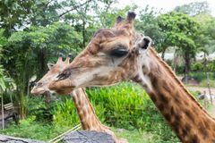 Giraff på den Dusit zoo, Thailand royaltyfri foto