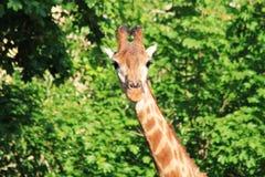 Giraff på den gröna bakgrunden Royaltyfria Foton