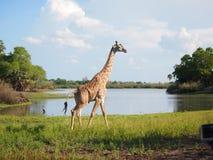 Giraff på en sjö Arkivbilder