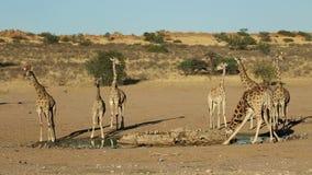 Giraff på en waterhole stock video