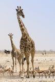 Giraff på Etosha parkerar Namibia Fotografering för Bildbyråer