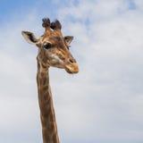 Giraff på himmel med moln Arkivbild
