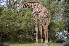 Giraff på Kilimanjaro monteringsbakgrund i nationalpark av Kenya, Afrika Fotografering för Bildbyråer