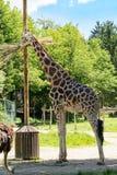Giraff på lunch Arkivfoton